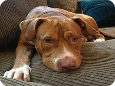 Please save me!!  Very Sad and scared boy in Crowded kill shelter will kill as space is needed  Atlanta, GA - Pit Bull Terrier. Meet RED a Dog for Adoption.