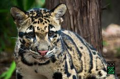 Houston Zoo Clouded Leopard Cubs-5201