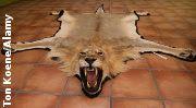 """""""O Grito do Bicho"""": França proíbe importação de troféus da caça ao leã..."""