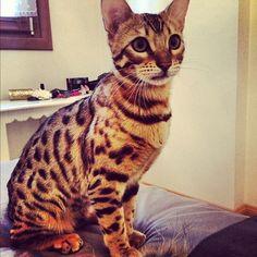 Savanna cat :)