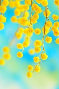 Beautiful Wattle - the flower symbol for Australia
