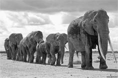 British Ecological Society's annual photo competition. More than 200 entries were received - a new record for the competition - showing scenes of the natural world spanning Africa, Asia, the Americas and Europe.  This shot of an elephant matriarch leading her family to water was highly commended by the judges  http://www.bbc.com/news/science-environment-30382316