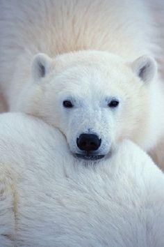 Polar bear  - love