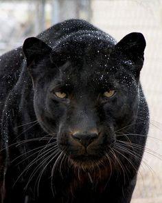 Black Jaguar......Intense!!