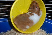 Hamster - Wikipedia bahasa Indonesia, ensiklopedia bebas