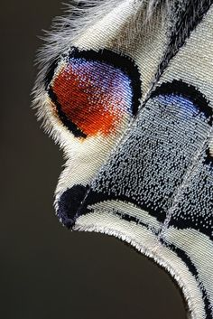 Butterfly wing close up |  Photo by Jim Hoffman