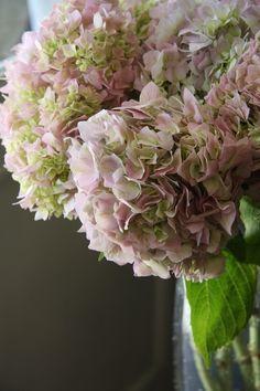 Garden Picture #flower #hydangea