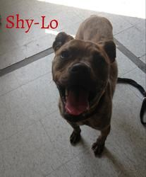 Shy-Lo is an adoptable Boxer Dog in Toledo, OH. Shy-Lo is a nervous boy who takes a minute or two to warm up. He was in a house-fire, when we picked him up as a stray. He is a scared boy expecially in...
