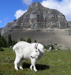 Mountain goat at Logan Pass, Glacier National Park.