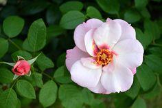 Rose | 126th Shrewsbury Flower Show. | Seventh Heaven Photography | Flickr