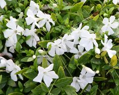 Buy lesser periwinkle Vinca minor f. alba 'Gertrude Jekyll' - Abundance of small white flowers: Delivery by Waitrose Garden Periwinkle Flowers, Woodland Plants, Plant Fungus, Small White Flowers, Planting Plan, Ground Cover Plants, Moon Garden, Herbaceous Perennials, Hardy Plants