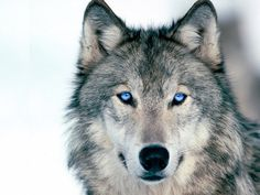 wolf - photo shopped changed eyes to a blue - wolves do not have blue eyes