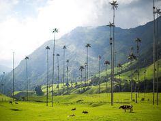 In case you were wondering where to find the world's tallest palm trees (palma de cera), you needn't look further. The lithe trees are even more incredible set against the backdrop of misty green hills and sharp mountains.