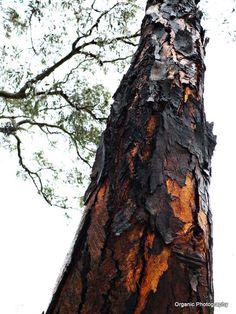 Iron bark in rain