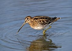 Common snipe, one of the machair's breeding waders. Sea Birds, Wild Birds, Golden Plover, British Wildlife, Wild Creatures, Shorebirds, Game Birds, All Nature, Bird Pictures