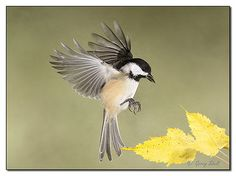 "Chickadee In Flight-""Hmm, I wonder if I can hide this seed among the birch leaves!"""