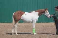 Flying F Show Horses - Foals