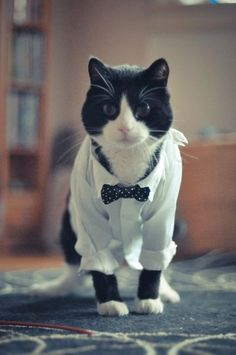 A black and white cat wearing a button up shirt with a miniature bow tie. Looks like Autumn!