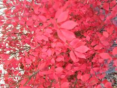Loved the Burning bush in our yard growing up
