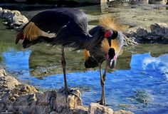 Crowned Crane by MohammadDesign #animals #animal #pet #pets #animales #animallovers #photooftheday #amazing #picoftheday