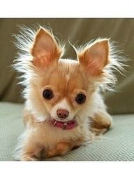 love the fuzzy ears ::: A long haired Chihuahua so sweet. Lorr