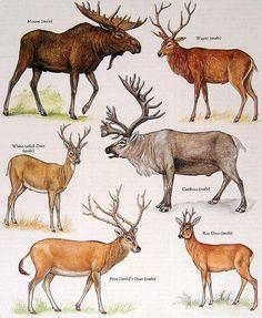Male Moose, White Tailed Deer, Wapiti, Caribou, etc. Vintage 1984 Animal Book Plate