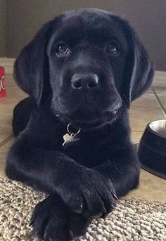 Mind Blowing Facts About Labrador Retrievers And Ideas. Amazing Facts About Labrador Retrievers And Ideas. Black Lab Puppies, Cute Puppies, Cute Dogs, Corgi Puppies, Funny Dogs, Black Labrador Retriever, Labrador Retriever Dog, Labrador Dogs, Big Dogs