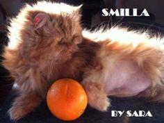 Dieta vegetariana gatto - http://elicats.com/dieta-vegetariana-gatto/ Molti vegetariani o vegani tentano di nutrire i loro gatti togliendo o riducendo di molto la carne dalla dieta.  Dieta vegana per il gatto Perché può essere pericoloso eliminare la carne dalla dieta del gatto Il gatto è un carnivoro!    Il gatto ha bisogno di amminoacidi  Il suo st...