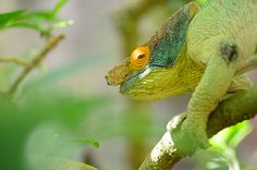 Parsons chameleon with orange eye in Madagascar This concerns the second-largest chameleon specie in the world. It has various sub species and morphs which means they can look dramatically different than this and still be a Parsons chameleon.  Calumma parsonii,Geotagged,Madagascar,Parsons chameleon,Pyreras Reserve