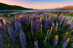 Lupins galore on New Zealand's South Island ~ Christian Lim