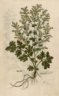 heaveninawildflower:  Wermut absinthium, artemisia, wormwood(1543) byLeonhart Fuchs. Source - Image 33 at Strasbourgvia Wikimedia.