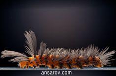 Polka-Dot Wasp Moth caterpillar
