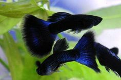 awesome Dark blue Moscow Guppies (freshwater fish)... by http://www.dezdemon-exoticfish.space/freshwater-fish/dark-blue-moscow-guppies-freshwater-fish/