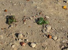Betelnüsse liegen überall