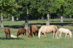 """Mares and their CD Diamond foals grazing on a sunny day at the San Juan Ranch."""