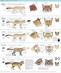 "anatoref: "" Guide to Felinae """