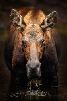 "l-eth-e: "" Moose In A Pond 