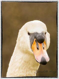 Swan in Doneraile Park feb 2018 Professional Wedding Photography, Cork Ireland, Swan, Park, Swans, Parks