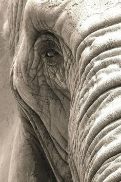 Elephant Eye (Black and White) -- Animal Photos! Image Elephant, Elephant Eye, Elephant Quilt, African Elephant, African Animals, Elephant Face Drawing, Elephants Photos, Elephant Pictures, Animal Pictures