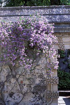 Solanum crispum 'Glasnevin' ~cu 2.jpg