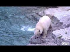 Toronto Zoo's Polar Bear Cub Meets the Big Bear's Pool-VIDEO  - http://1sun4all.com/polar-bears/toronto-zoo-polar-bear-cub-pool-video/