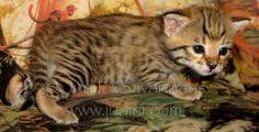 Female golden BST F2B Savannah kitten, 2 1/2 weeks old, starting to explore - 6/17/14.