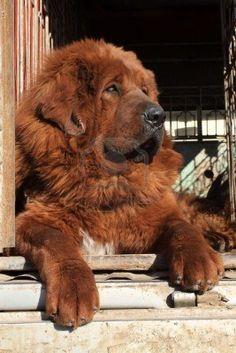 Google Image Result for http://us.123rf.com/400wm/400/400/lnzyx/lnzyx1007/lnzyx100700411/7295671-close-up-of-tibetan-mastiff-north-china.jpg