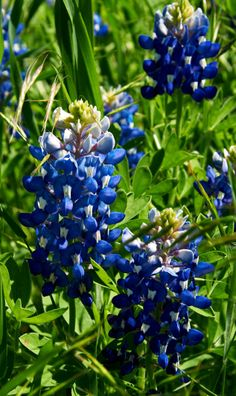 Texas Bluebonnets. Ennis, Texas. Photo by Andy New.