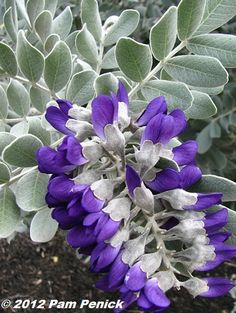 Plant This: Silver Peso Texas mountain laurel shines in spring - Digging Dig Gardens, Texas Plants, Plants, Mountain Laurel, Amazing Flowers, Beautiful Flowers, Texas Landscaping, Flowers, Texas Gardening