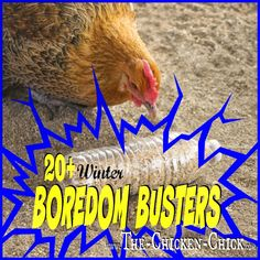 Snowy, sub-zero winter weather, hurricanes or severe weather of any type poses serious challenges for chicken keepers. Once the chickens' safety ha... Keeping Backyard Chickens
