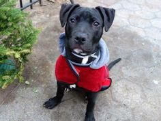 SAFE --- URGENT - Manhattan Center    ROAD RUNNER - A0989033  *** SAFER: AVERAGE HOME ***   MALE, BLACK, PIT BULL MIX, 6 mos  STRAY - STRAY WAIT, NO HOLD  Reason STRAY   Intake condition NONE Intake Date 01/08/2014, From NY 10035, DueOut Date 01/11/2014 Main thread: https://www.facebook.com/photo.php?fbid=739702476042634&set=a.617938651552351.1073741868.152876678058553&type=3&permPage=1