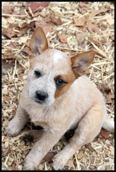 Australian Cattle Dog a red heeler baby awwwww Australian Cattle Dog, Aussie Cattle Dog, Cute Puppies, Cute Dogs, Dogs And Puppies, Doggies, Animals And Pets, Baby Animals, Cute Animals