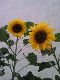 Como plantar Girasoles , con fotos , paso a paso !!