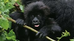 Uganda Flying Safari - Valley of the Hunters - #Uganda #FlyingSafari #wildlife #Steppes A trip for those who don't follow the crowd. Trek the #Nkuringogorillas in remote western #Bwindi. Follow in their footsteps, high above the clouds, in one of the most spectacular settings, where active volcanoes glow at night.